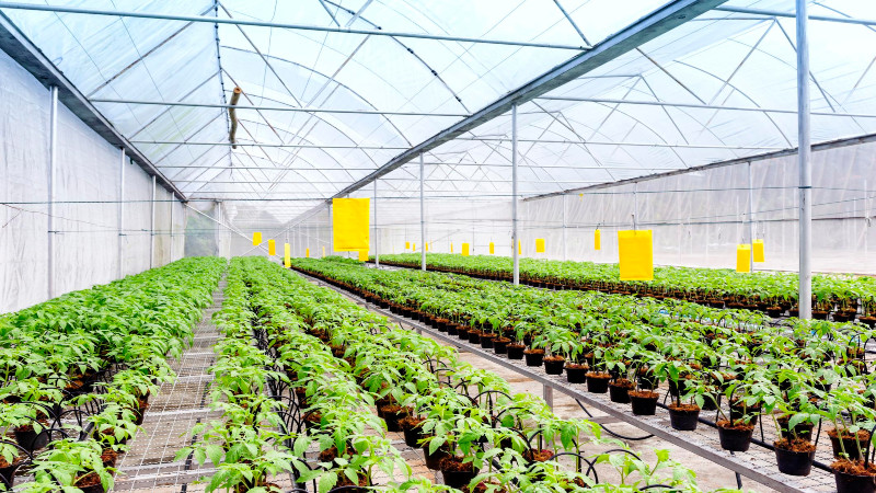 Keeping Indoor Crops From Ripening Too Fast and Avoiding Profit Loss